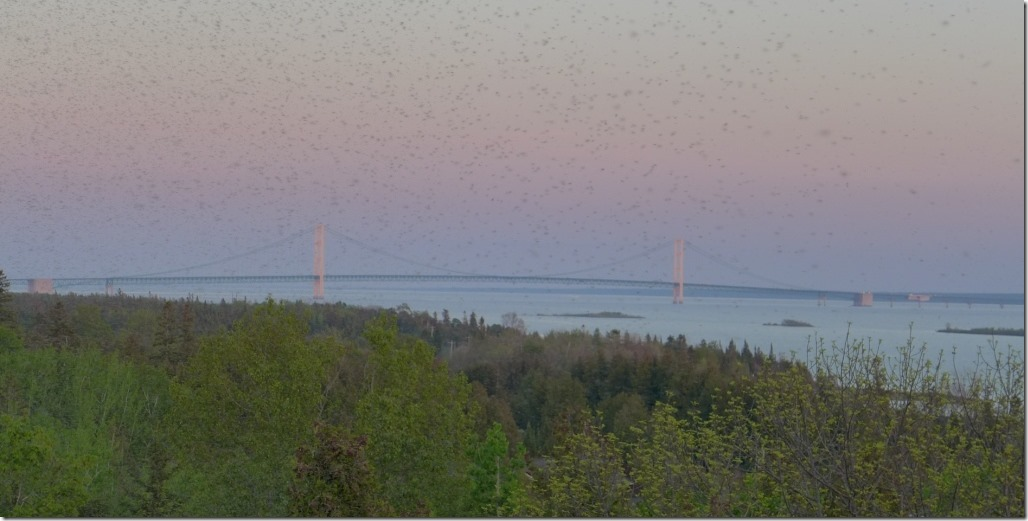 Mayflies at Mackinac Bridge